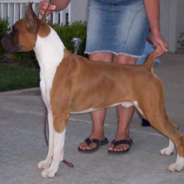 Boxer Breeder-Bernie available for stud